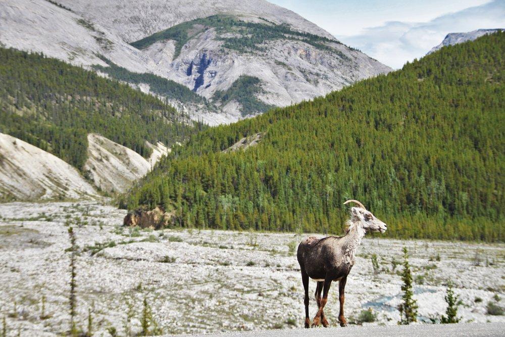 Female Bighorn Sheep