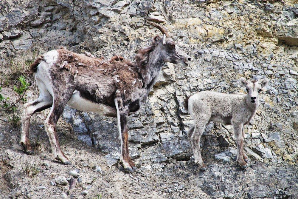 Female and Lamb Big Horn Sheep