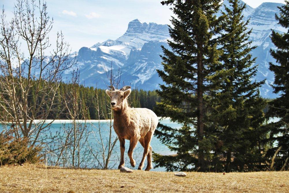 Two Jack Lake Female Bighorn Sheep