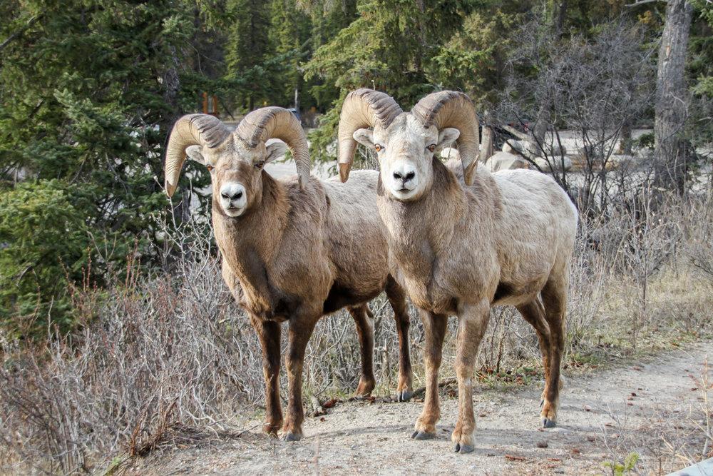 Double Ram Bighorn Sheep