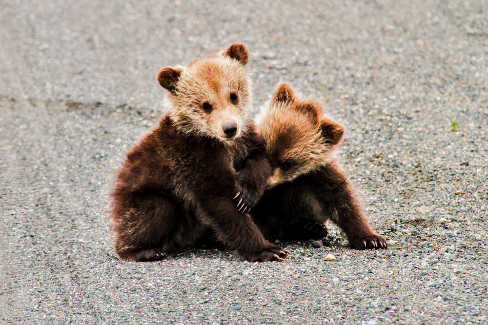 Cubs on street