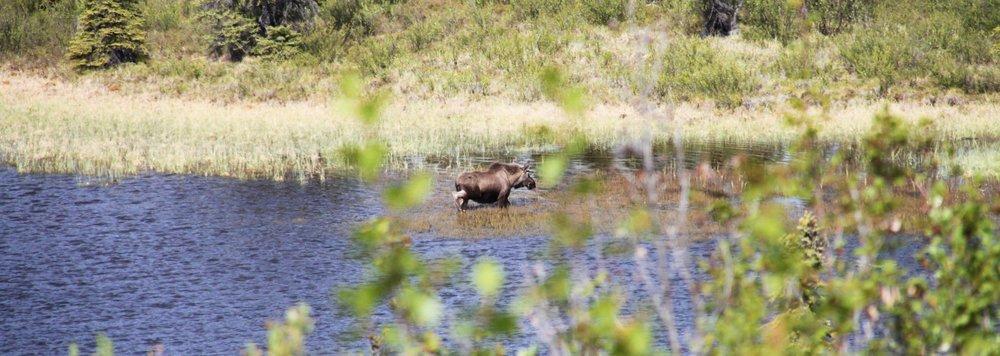 Moose in Marsh