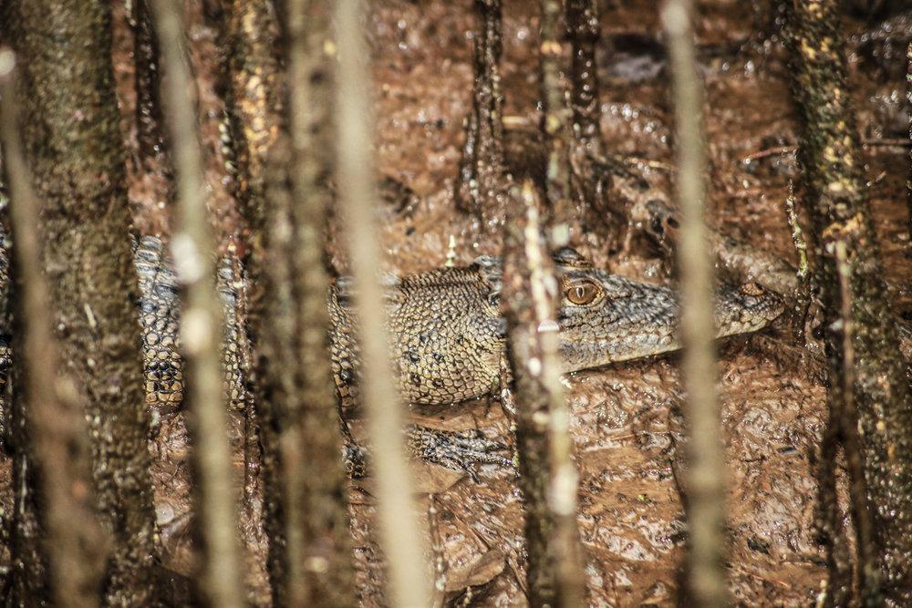 Juvenile Crocodile