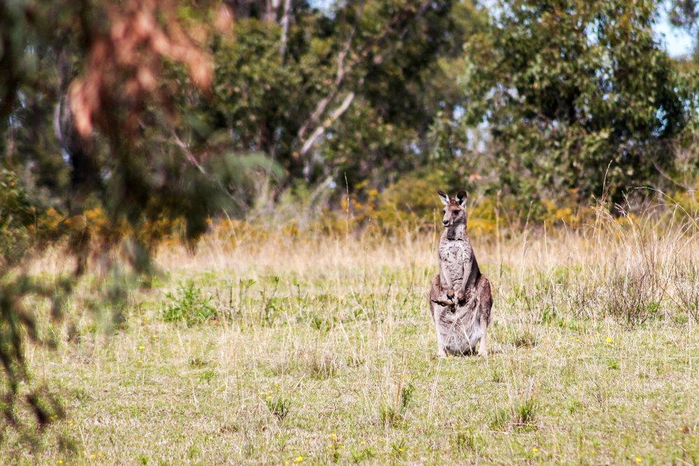 Grey Kangeroo