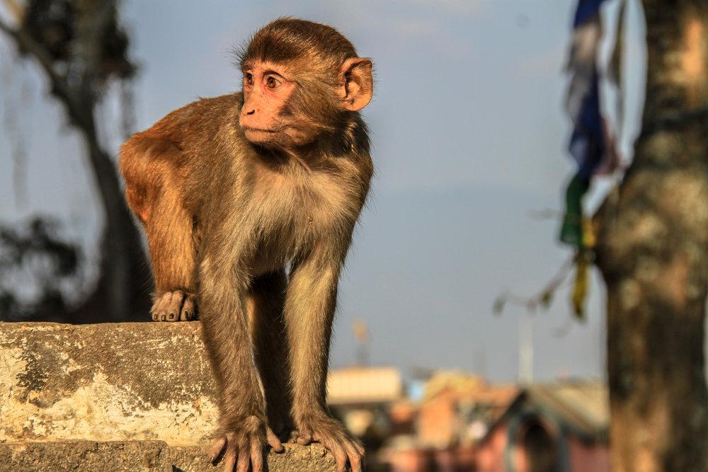 Rhesus Macaque Monkey I