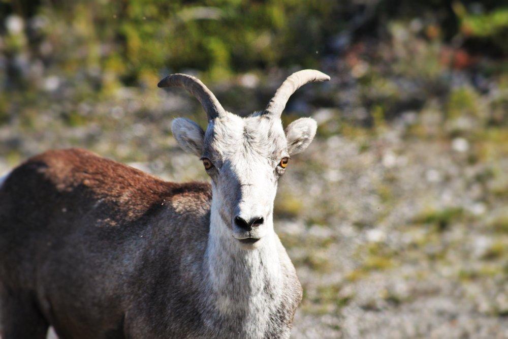 Bighorn Sheep Stare