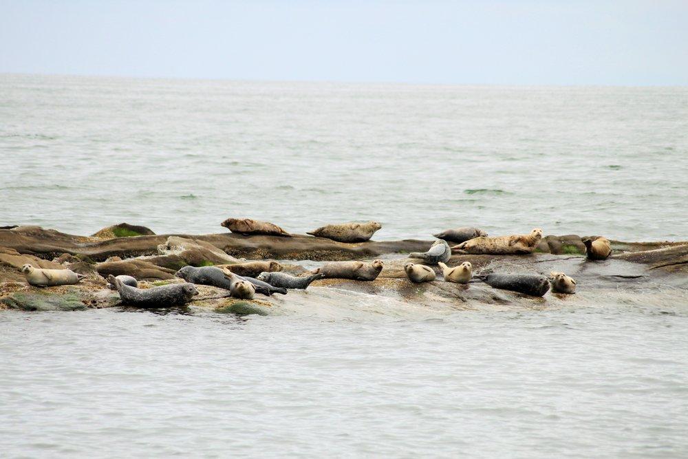 Harbour Seal II