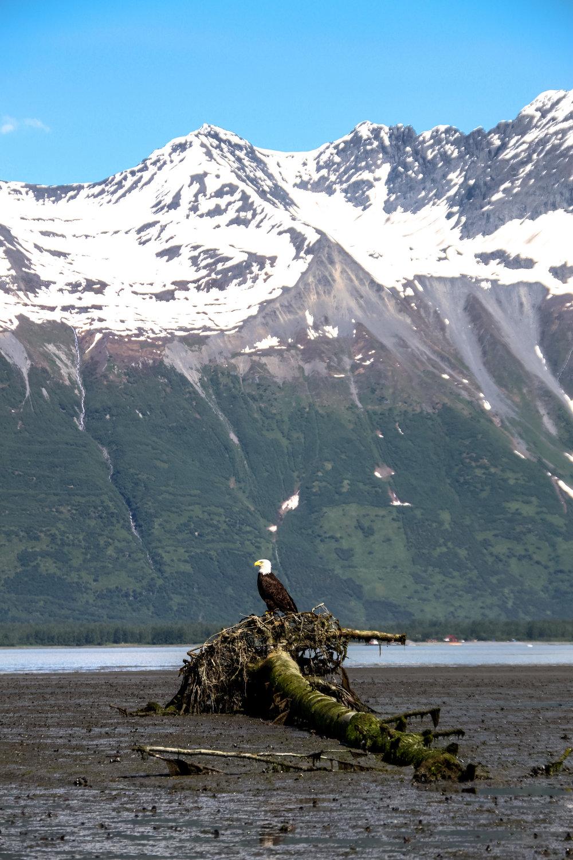 Bald Eagle Valdez I