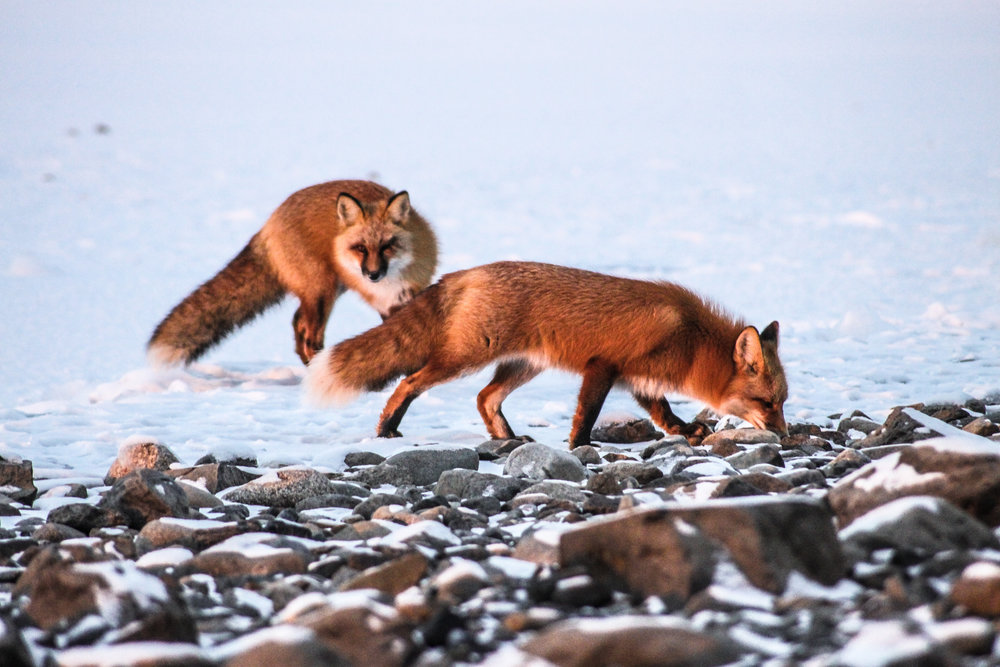 Red Foxes Sibling