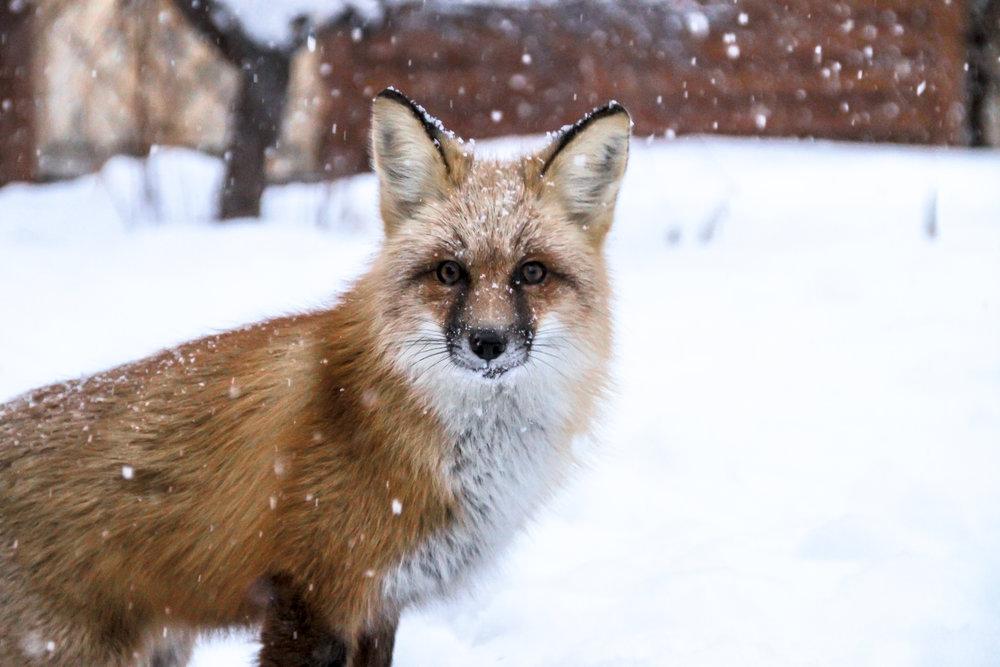 Red Fox stare