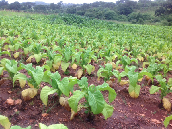 Tobacco crop.jpg