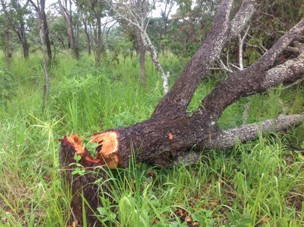 Chopped tree.jpg