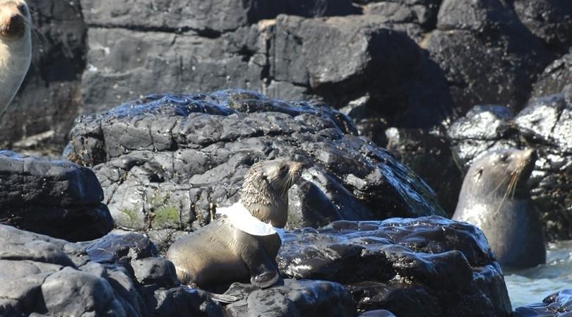 Seal-entanglement.jpg