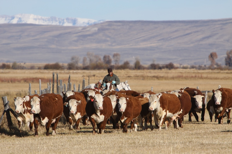 Fall herefords web.jpg