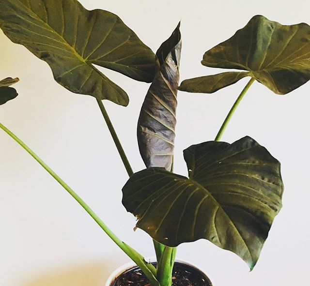 Currently choosing between this Elephant Ear Philodendron, a Bird of Paradise, a Dracaena Marginata (looks like a Palm), or a small Avocado tree. Trying to find one that's about 4' tall! Let me know any tips that might help me choose, as well as your Vancouver plant shopping spots below ⬇️ . . 📷 : @northshoretropicals