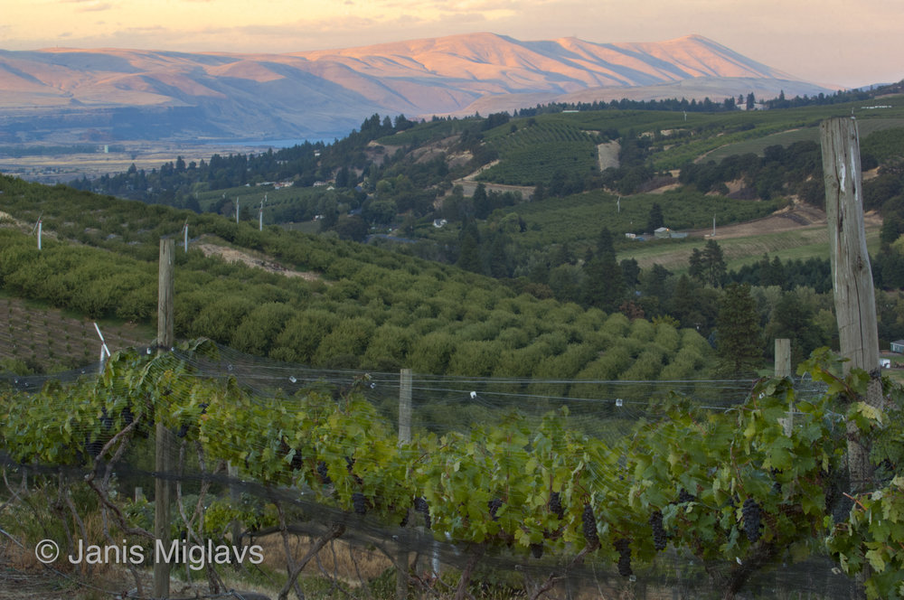Vineyard Above the Columbia 1