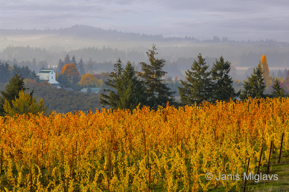 Fall Vineyard Above Walnut-Drying Barn