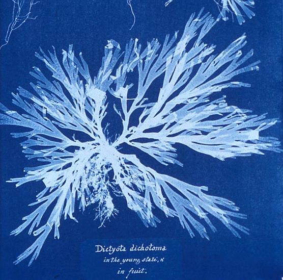 Algae  by Anna Atkins c.1843