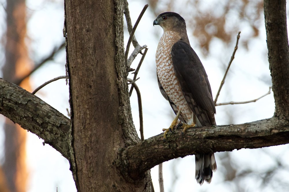A Coopers Hawk, moments before he took off to catch a bat.