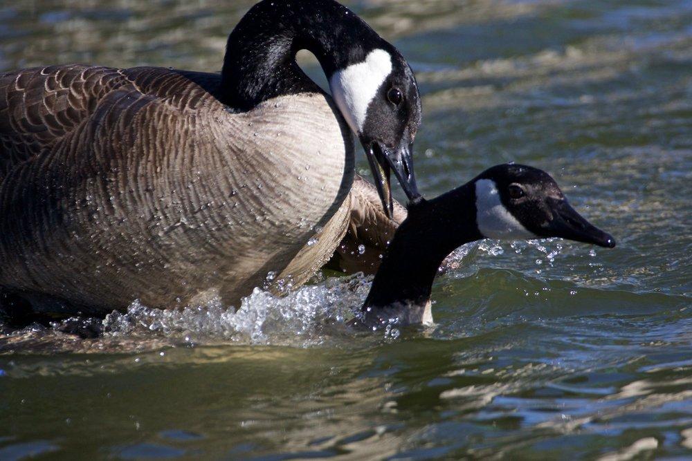 Goose love.