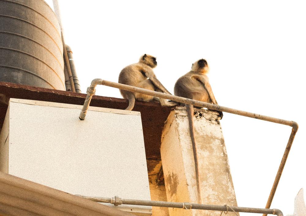Monkeys watching the sunset...