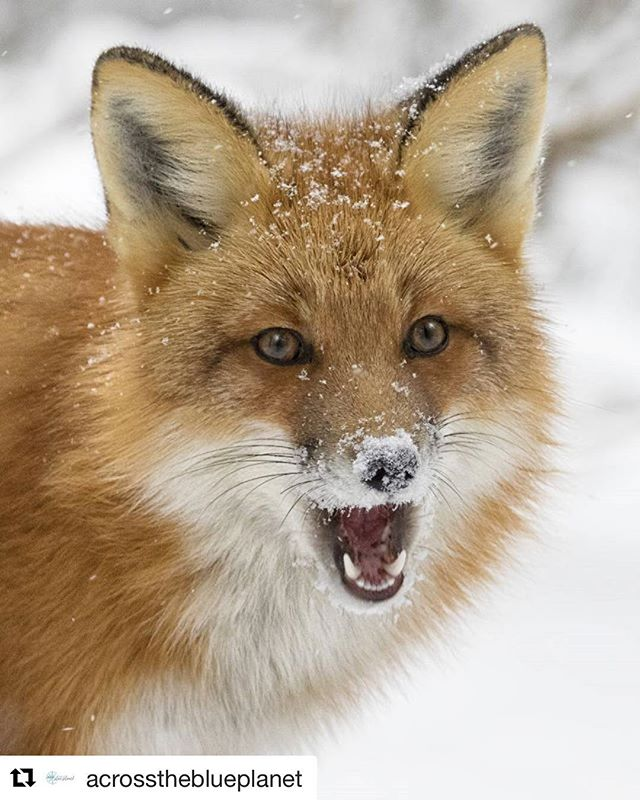 We are getting closer to winter in Ontario today. Stay safe on the roads my friends! Now that we can enjoy the white stuff it's time to get out and capture some beautiful images just like @acrosstheblueplanet has captured of this cute red fox 😍  Don't forget to tag your images #n49share to be a featured artist.  #opcmag #tourismontario #ontario #canada150 #acrosstheblueplanet #igscwildlife #redfox #canon #canon_photos #suri #algonquinprovincialpark