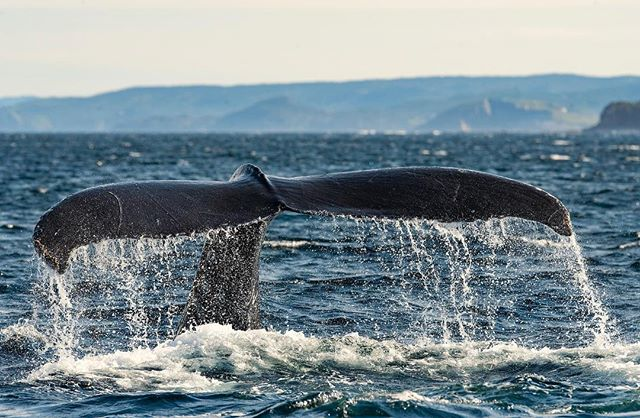 Have you ever been in the middle of 100 humpback whales? Tail raise here, surface over there, bubble feeding, breaching out of the water. It's an incredible experience to watch such large creatures of the ocean. Are you ready to join us in Newfoundland?  #newfoundland #humpbackwhale #photographyworkshop #canada #opcmag #cbcsocial #visitnewfoundland #travel #photographwhales #bestphotographyworkshops #wildlifeworkshops