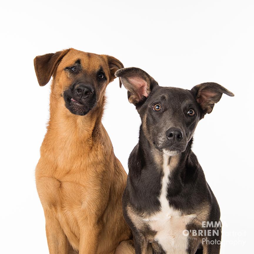 rescue dog portraits photography centurion