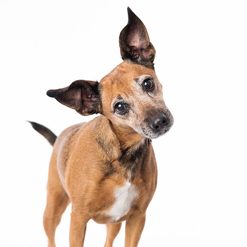 rescue dog portrait studio photography centurion