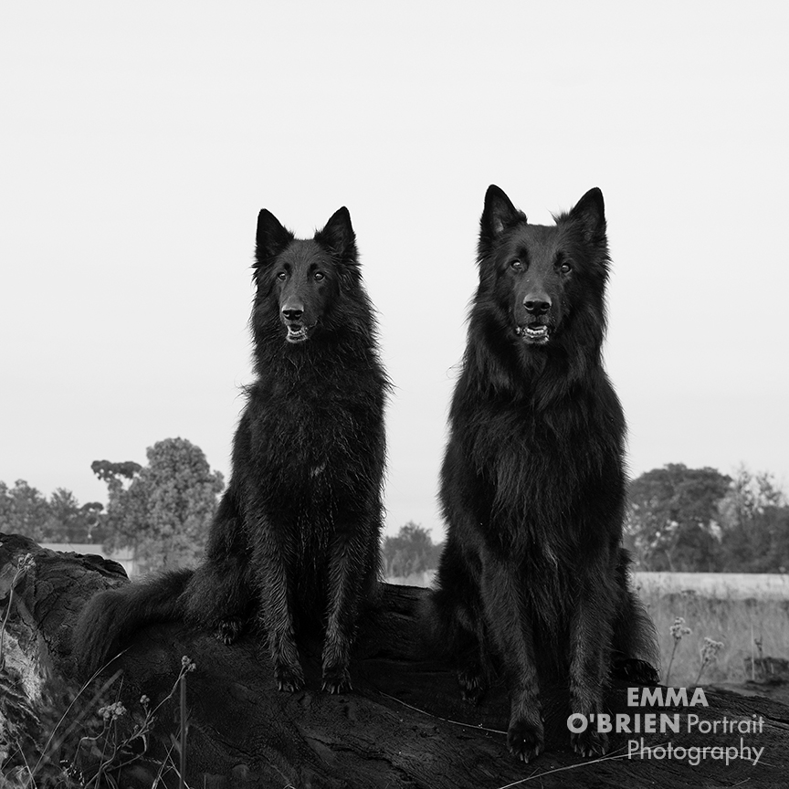 black dog portraits by dog photographer Emma O'Brien