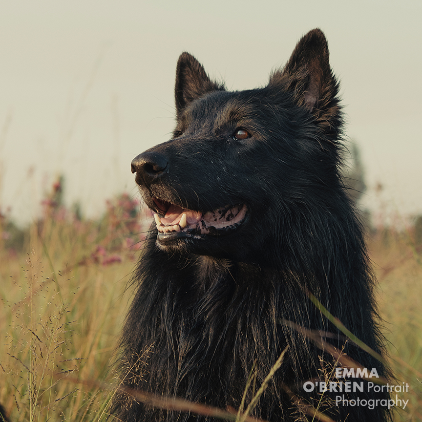 black dog portrait photography by specialist dog photographer Emma O'Brien