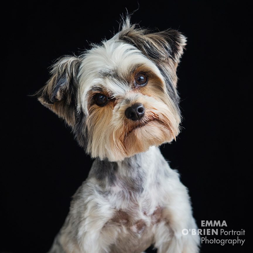dog portrait photographer johannesburg