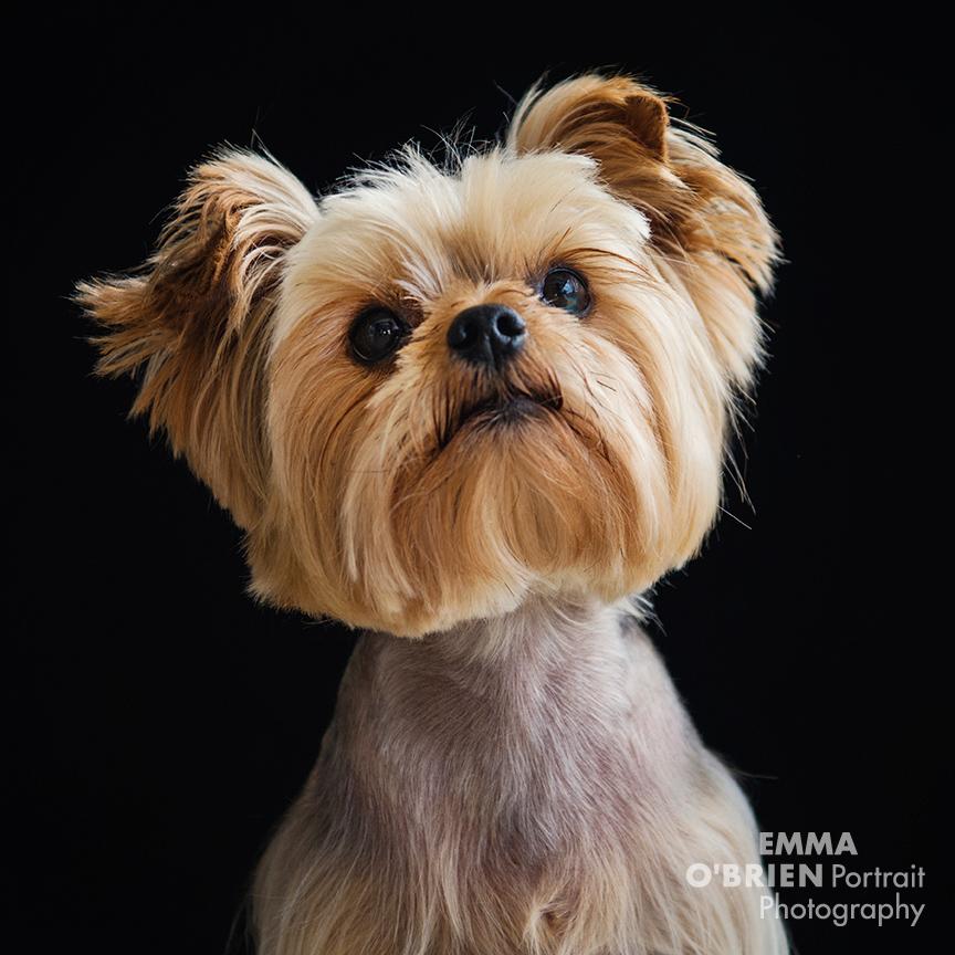 dog portrait photographer johannsburg