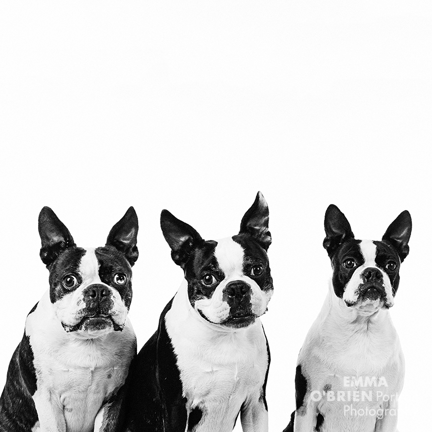 boston terrier studio dog portraits south africa