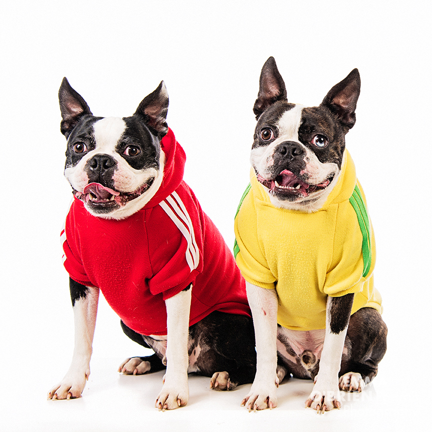 Studio dog portraits boston terriers south africa