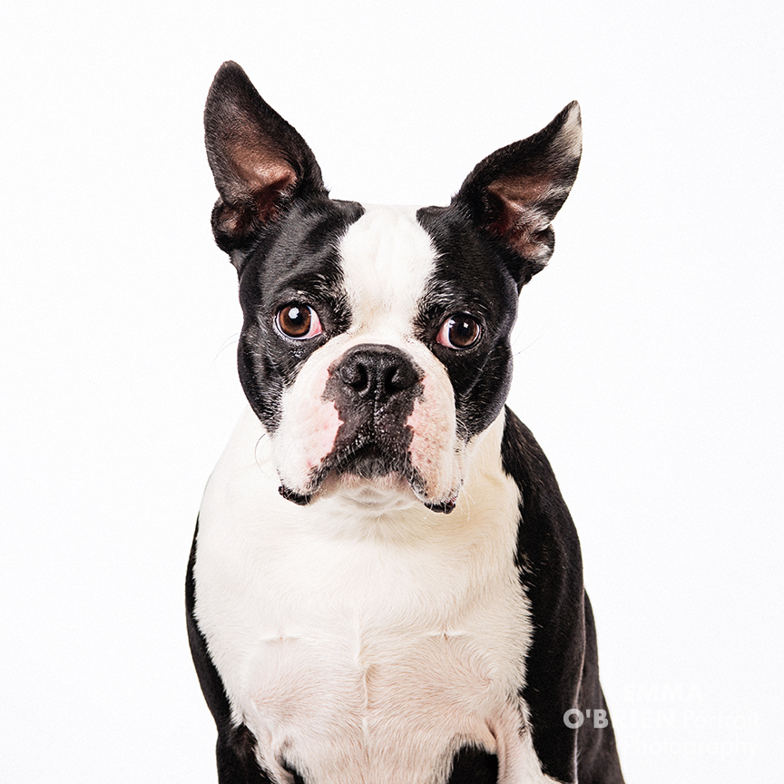 boston terrier studio shoot johannesburg