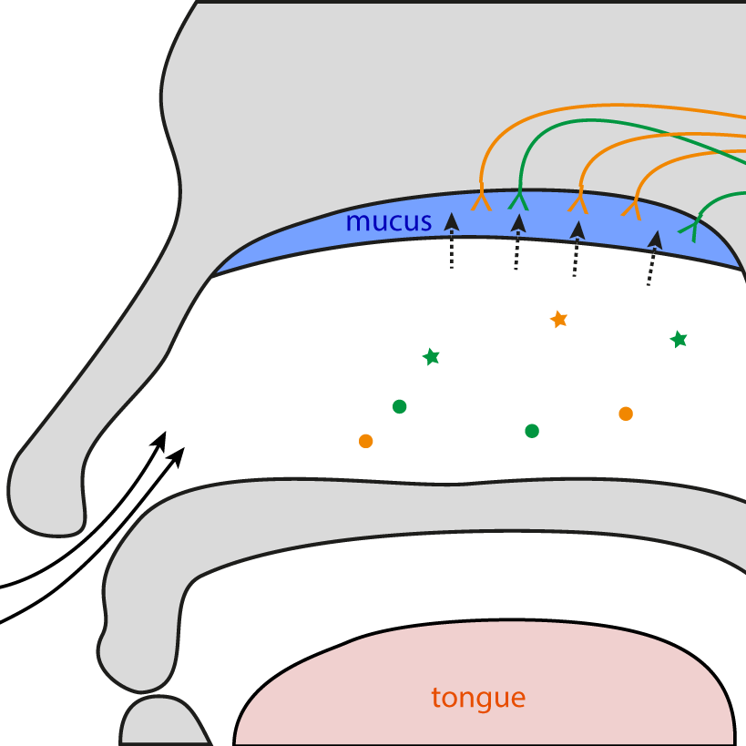 Nasal airflow - How does the complex shape of the nasal cavity affect air flow?