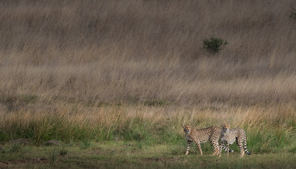 Cheetah-high-15.jpg
