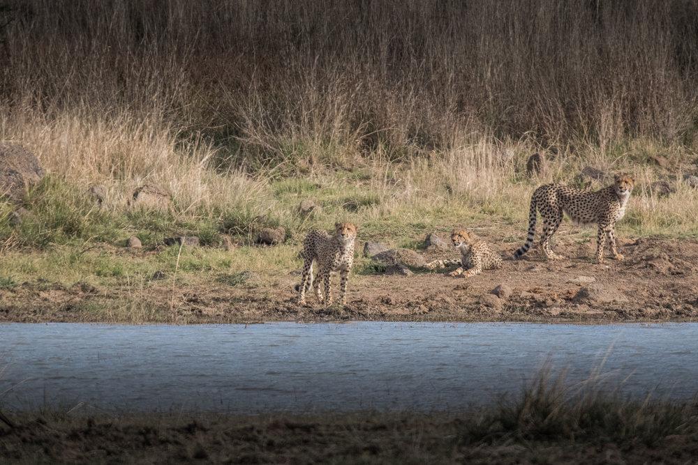 Cheetah-high-1.jpg