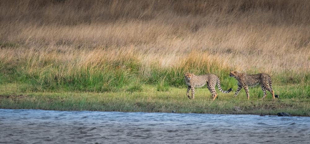 Cheetah-high-5.jpg