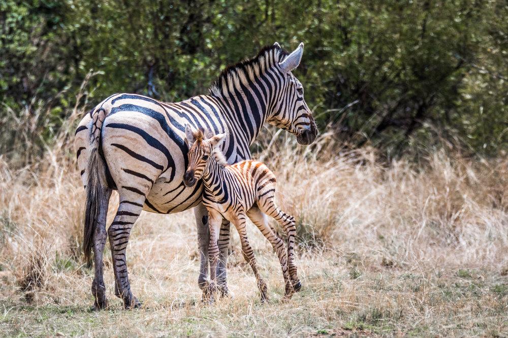 Zebra-big-1.jpg