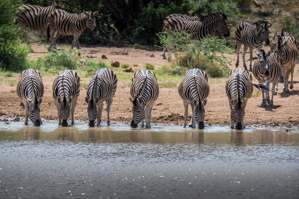 Zebra-big-3.jpg