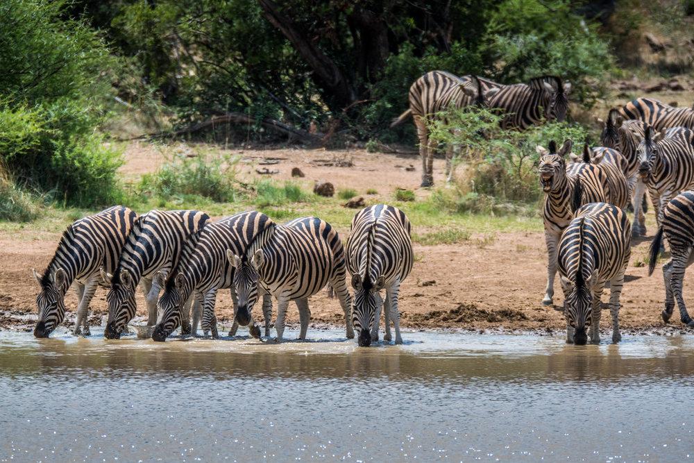 Zebra-big-4.jpg