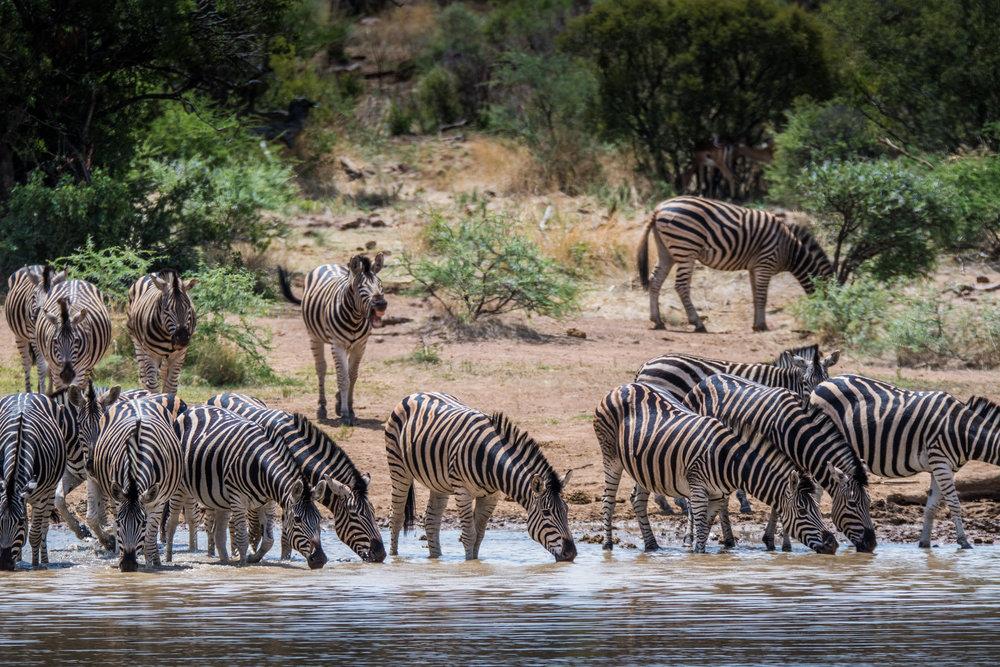 Zebra-big-5.jpg