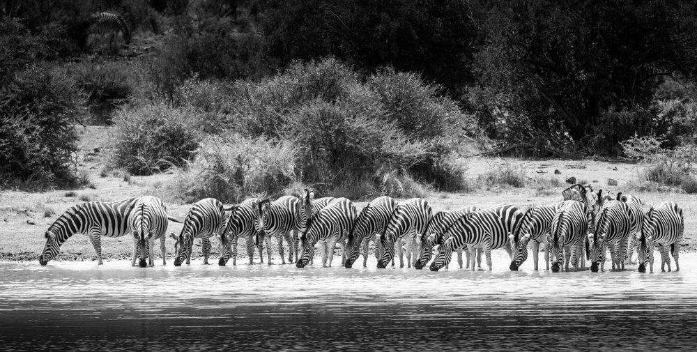 Zebra-big-6.jpg