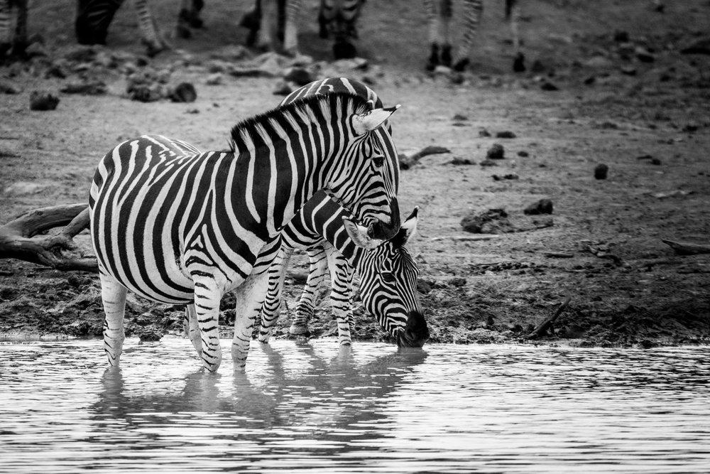Zebra-big-7.jpg