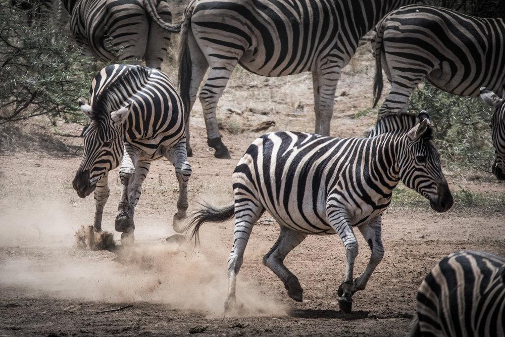 Zebra-big-8.jpg