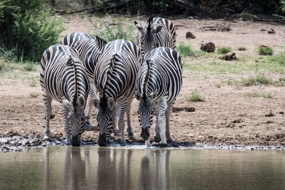 Zebra-big-10.jpg