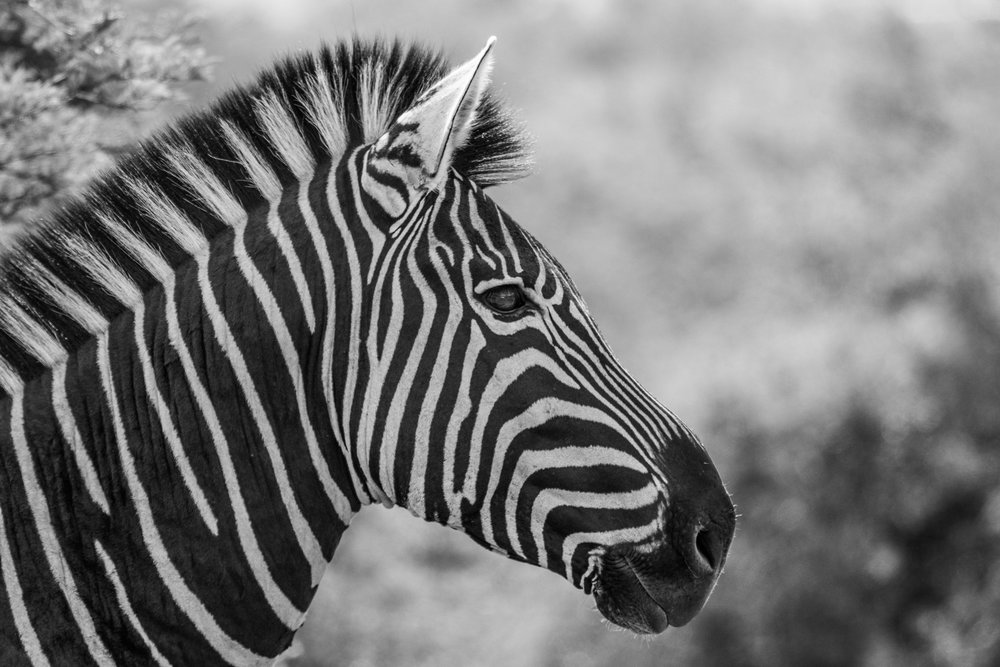 Zebra-big-11.jpg