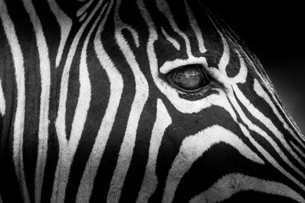 Zebra-big-12.jpg